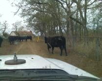 Black Cows From a White Truck