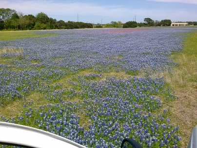 Bluebonnet Survey